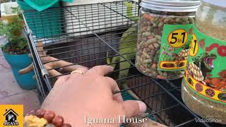 Iguana House. Hướng Dẫn Bà Chị Mới Làm Quen Iguana ( How To Take Care Iguana )