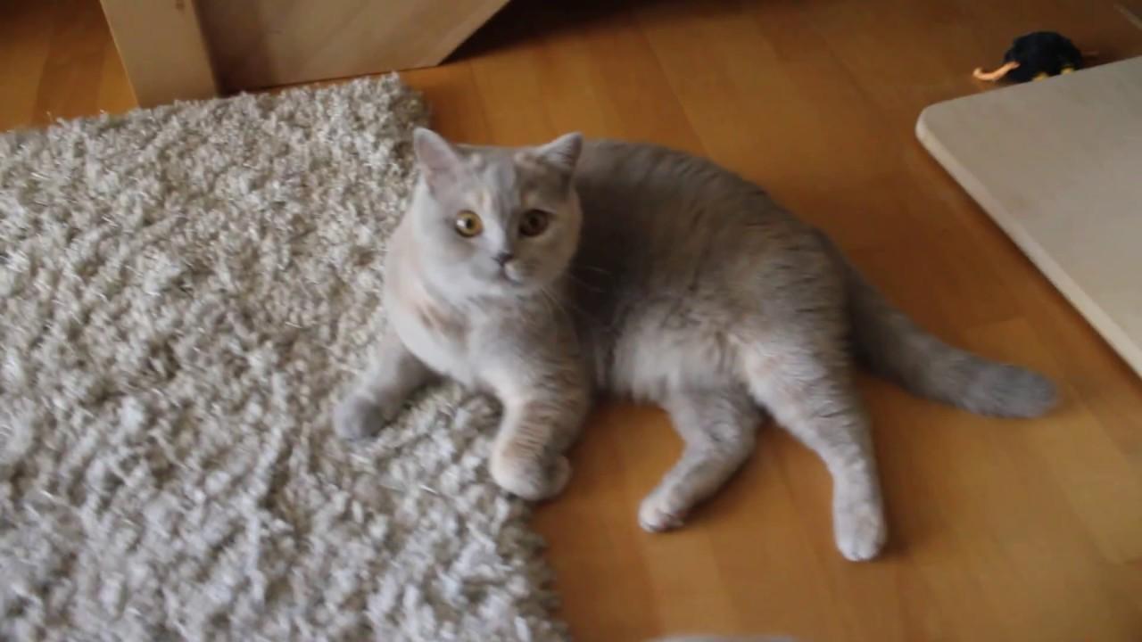 Ch Amella Mkluseczkipl Kot Brytyjski Krótkowłosy Liliowy Szylkret