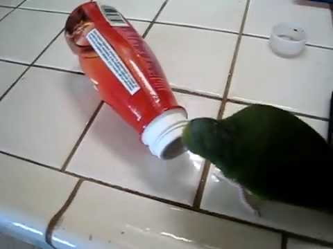 Cobalt-winged parakeet - Henry head in bottle