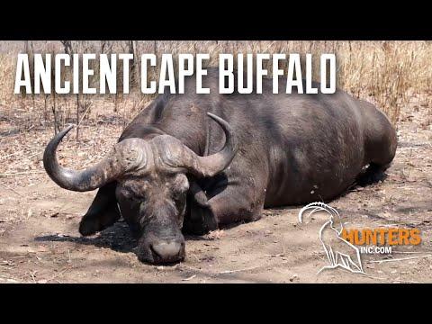 ANCIENT CAPE BUFFALO — Hunting Mozambique with Cabassa Safaris & HuntersInc
