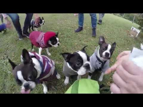 The biggest boston terriers meeting - 2016.10.16 - Warsaw, Poland