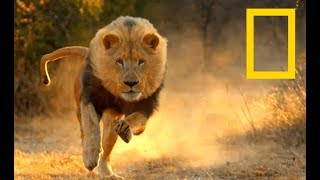 Africa's Super Cats - Lions vs Brutal Leopards (Nat Geo Wild)