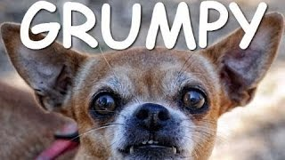 Забавные Собаки Чихуахуа!!!