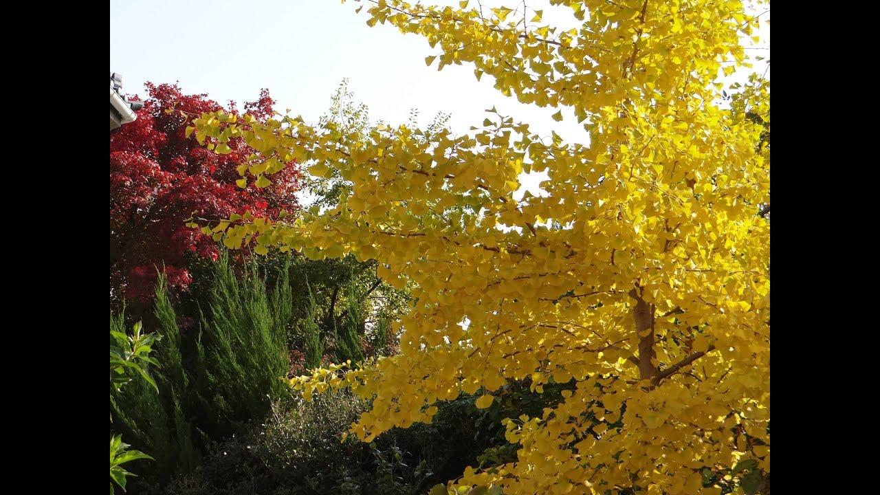 JAPAN神戶北野異人館,但在這條堀川通從「今出川通」到「鞍馬口通」之間種滿了秋天會金黃閃閃的銀杏,在秋天的大阪城公園也可以看到滿開的銀杏大道,這邊也是大阪的銀杏名所之一,還蠻期待的~ 另外,我在秋末初冬的大阪,大阪御堂筋銀杏大道 - YouTube