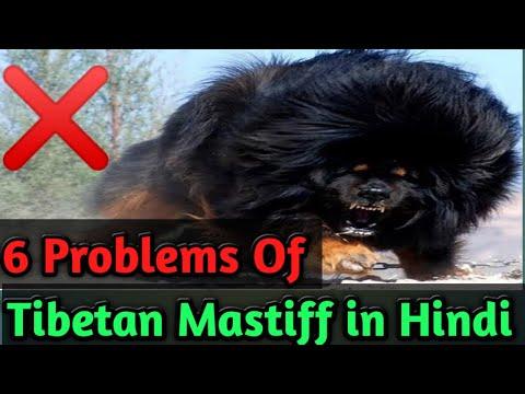 6 Problems Of Tibetan Mastiff in Hindi - Dogs Biography