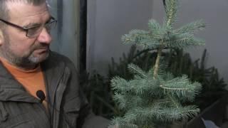 Видео урок по прививке хвойных растений от Петровича.