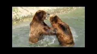 Бурые медведи.Битва двух медведей!