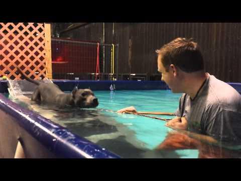 Ver Video de Pitbull Blind Pitbull's First Swimming Lesson