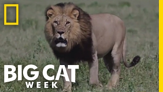 How Big Cats Survive Summer Storms | Big Cat Week