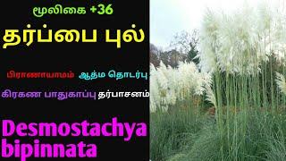 தருப்பை புல்|தர்ப்பை புல்|தெப்ப புல்|Tharpai pul|Tharuppai pul|Theppa pul|Desmostachya bipinnata