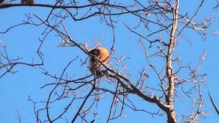 Охота на куницу зимой видео