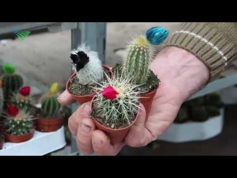 Cactussen hebben de wind mee