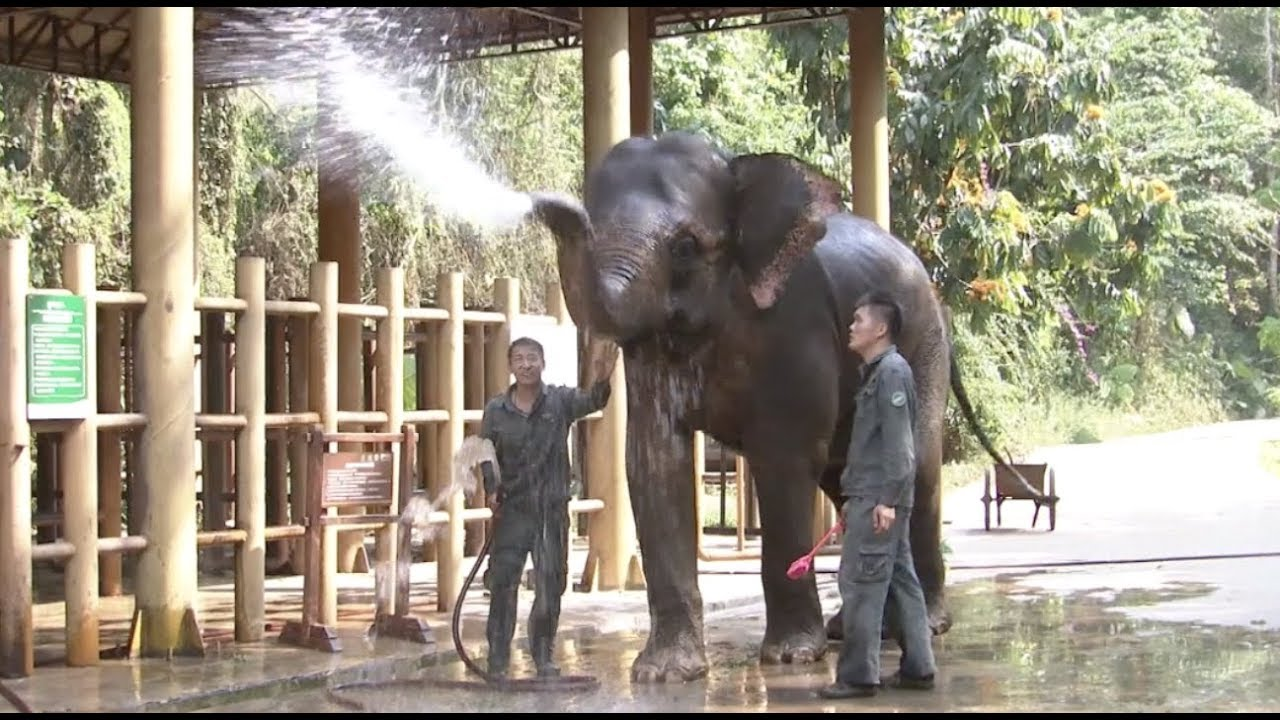 Battle to Save Wild Asian Elephants Causes New Tensions