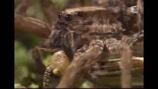 DOCUMENTAIRE SUR LES GRANDES araignées D'Afrique.. (DOC CHOC).. 2016