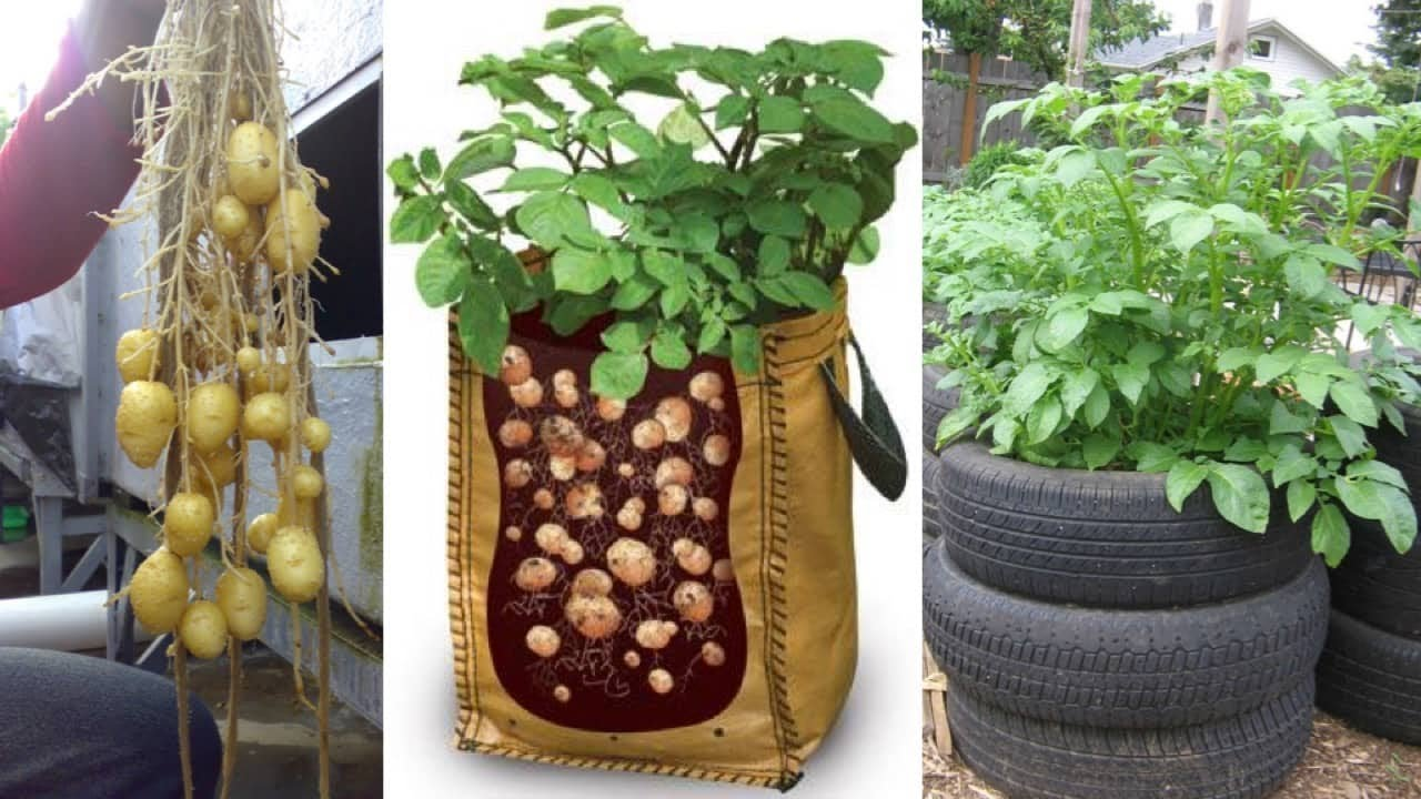 A Detailed Guide to Growing Potatoes Perfectly - Garden and