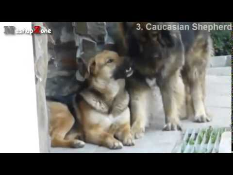 Top 10 Biggest Dogs In The World With Funny Dog Videos By Breeds Compilation 480p