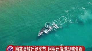 南露脊鲸迁徙季节 鲸鱼群现阿根廷海域