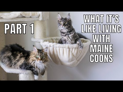 What It's Like Owning Maine Coons (Part 1)