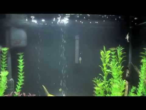 Angel Fish Tank With Zebra Danios And Cory Catfish.