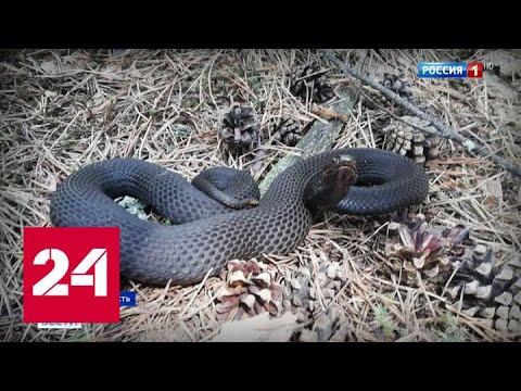 В подмосковных лесах активизировались ядовитые змеи: что делать в случае укуса? - Россия 24
