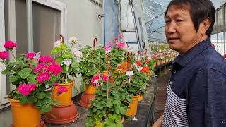 제라늄 전국 최다품종 보유 농부네농장 전시회(성남 수정…