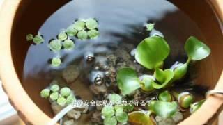 テラコッタの植木鉢の底穴を、水の排出機構として利用。 白メダカの飼育...