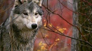 #307. Волки (В мире животных)