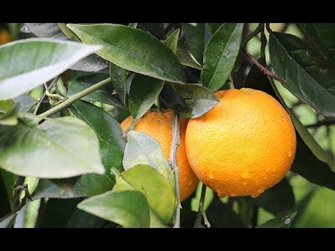 Report: Harvesting citrus fruit in Sicily