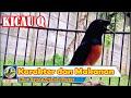 Karakter Dasar Burung Murai Batu Juara Dan Makanan Yang Sesuai Biar Cepat Ngekek Gacor Dan Birahi  Mp3 - Mp4 Download
