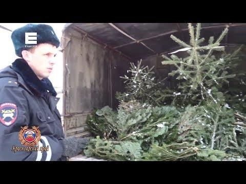 В Красноярске задержали первых елочных браконьеров
