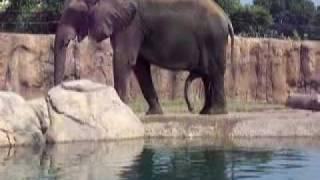 Elephant Boner