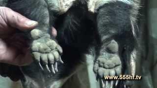 Охота на барсука на засидке видео