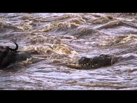Twenty Foot Nile Crocodile Attacks Brindled Blue Wildebeest