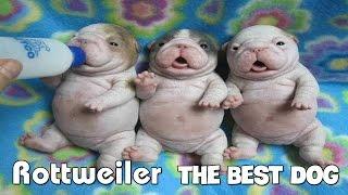 "Rottweiler ""The Best Dog"" puppies loveliest planet ロットワイラー「..."