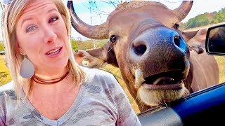 SAFARI ANIMALS IN OUR CAR!