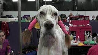 В Нью‑Йорке в 140-й раз прошла старейшая в Новом Свете выставка собак «Westminster Kennel Club».