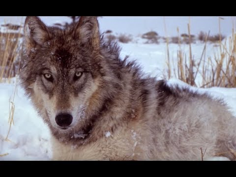 Yellowstone Wolves | The Henry Ford's Innovation Nation