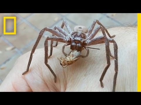 Giant Spider Devours Cricket On Man's Hand   National Geographic