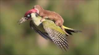 Woodpecker shown flying with weasel on its back II AMAZİNG !