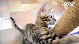 Дакота   самая красивая и самая умная в мире кошка бенгальской породы играет с дряпкой, в гостях у б