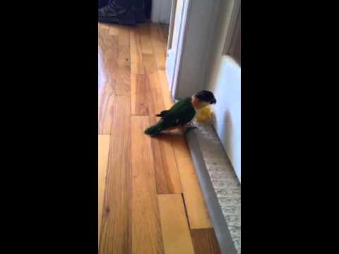 Caique playing and hopping