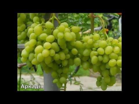 Лучшие сорта винограда Украины