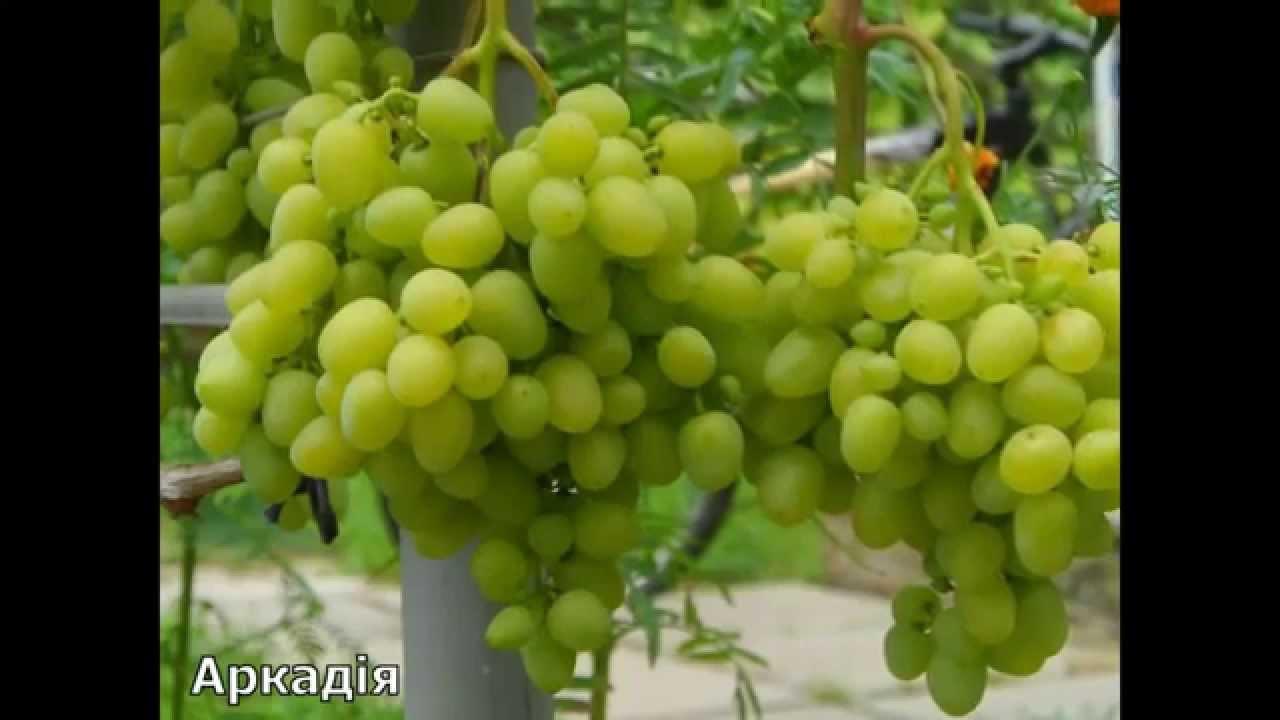 Лучшие сорта винограда Видео