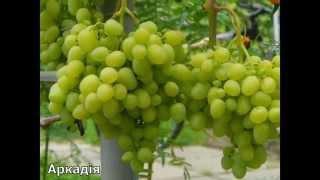Лучшие сорта винограда Украины(В этом видео представлены лучшие сорта винограда в Украине., 2015-11-22T18:32:35.000Z)