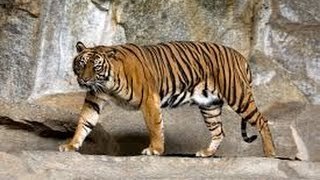Animal Documentary National Geographic   TIGER S BLOOD FIGHTS  HD 2016