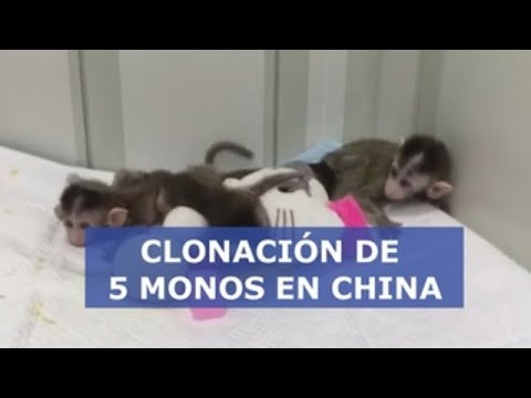 Clonan cinco monos  en China para analizar trastornos del sueño