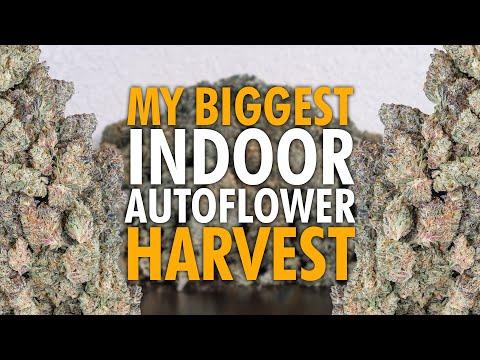 Harvesting My Indoor Autoflower Grow + Testing THC