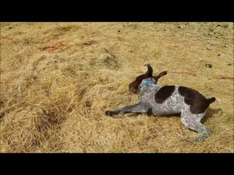 Cute German Shorthaired Pointer Puppy Running and Playing