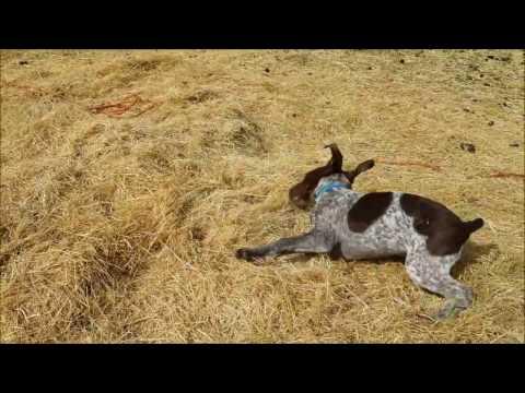 Crazy German Shorthaired Pointer Puppy