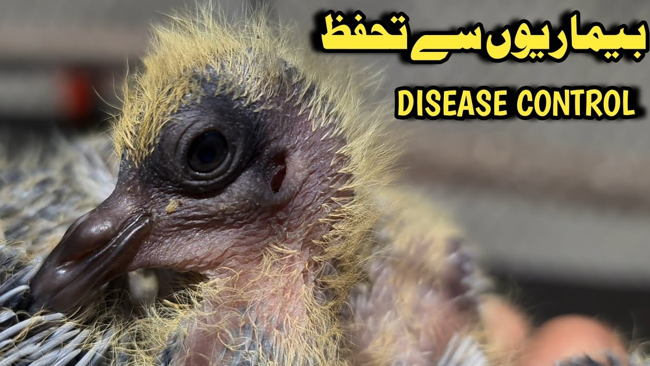 How to protect baby pigeons from disease ? - YouTube